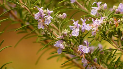 Rosemary flowers in January