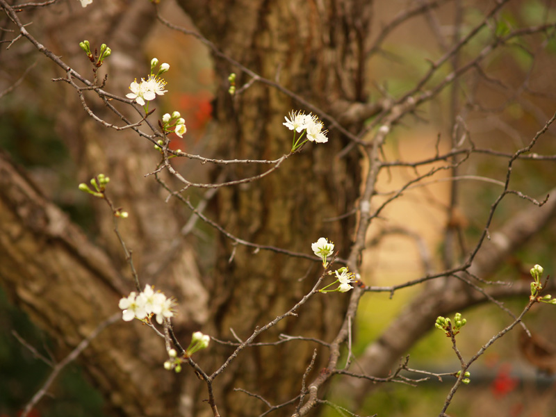 Mexican plum flowers