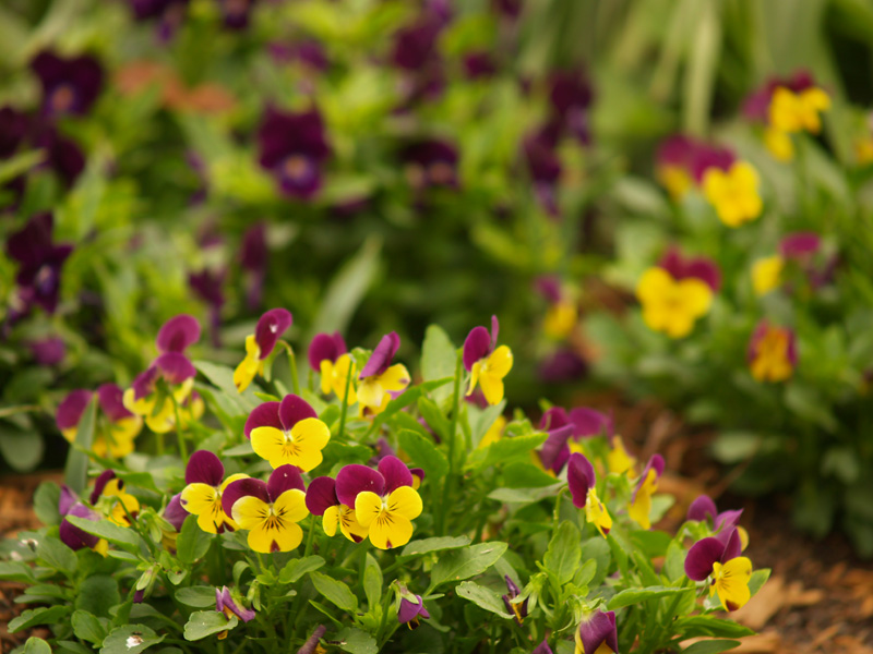 violas in central texas garden