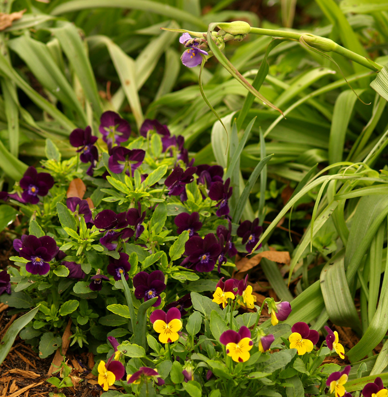Violas with spiderwort
