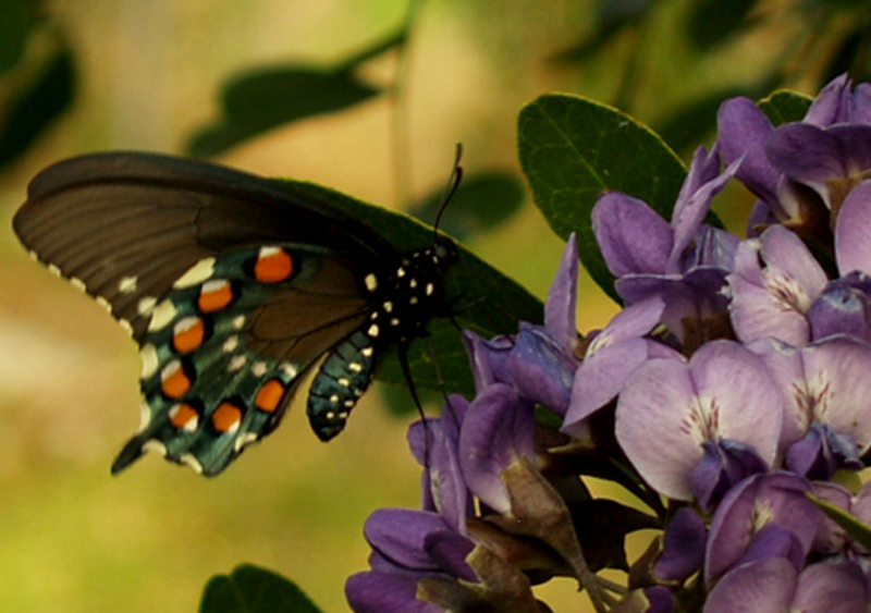 Pipevine swallowtail on mountain laurel flower