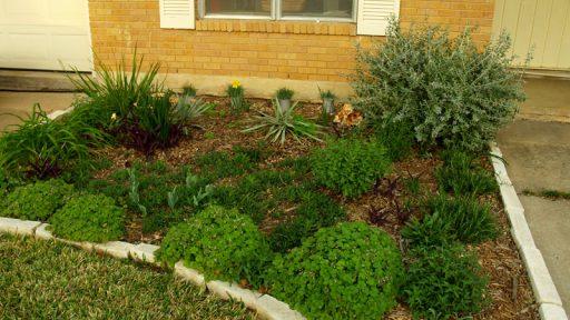 Sedge Carex glauca