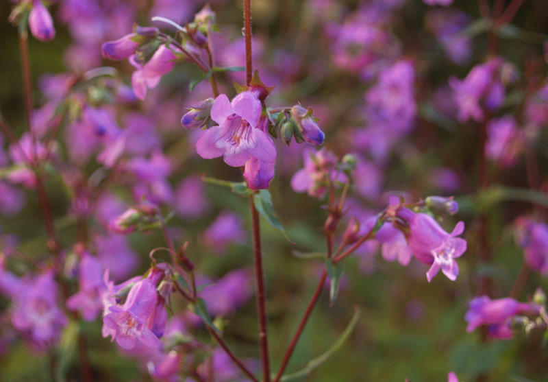 Gulf penstemon