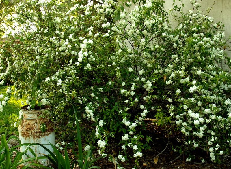 Spiraea with milk can