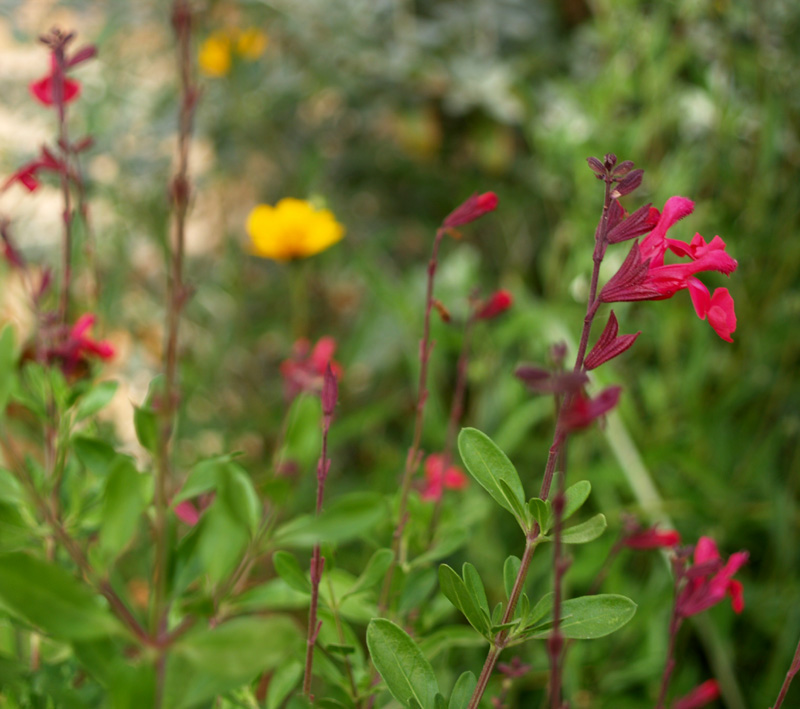 Salvia greggii and zexmenia
