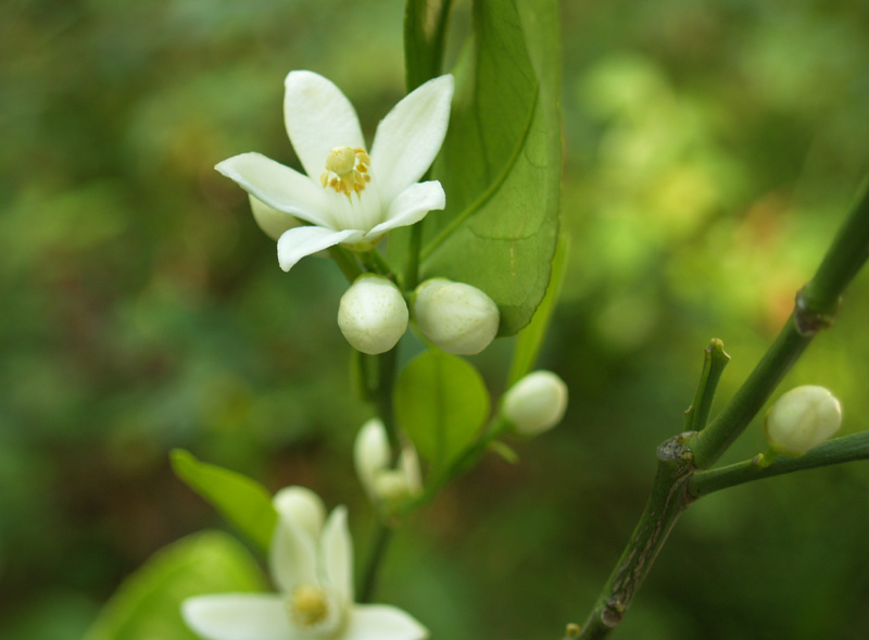 Satsuma orange flowers and buds