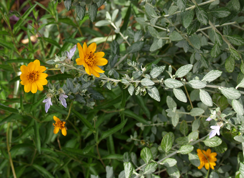 Zexmenia and silver germander