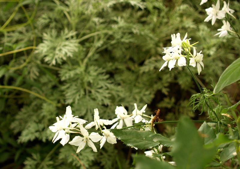 White larkspur with artemesia 'Powis Castle'