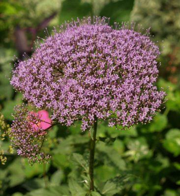 Purple umbrella plant