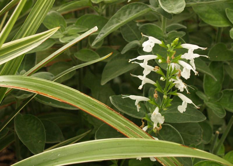 Salvia coccinea, white 'Nymph' with dianella