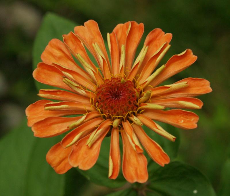 Zinnia 'Apricot Blush'