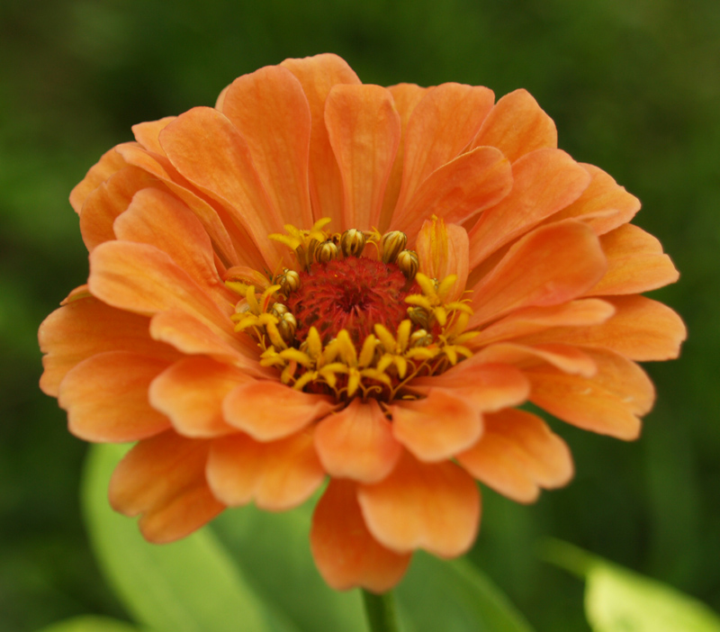 Zinnia 'Apricot Blush' with disk flowers