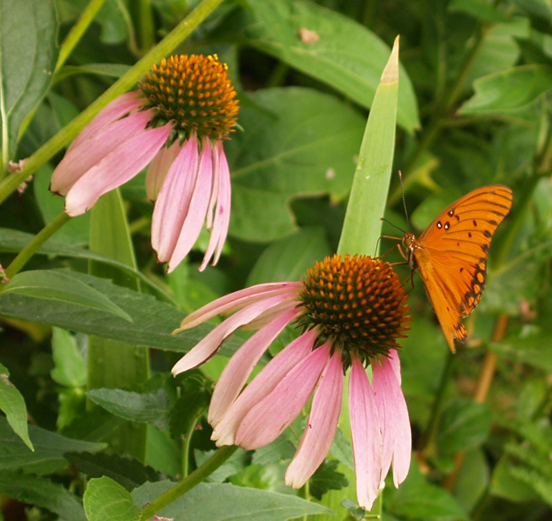 Gulf fritillary butterfly on coneflower