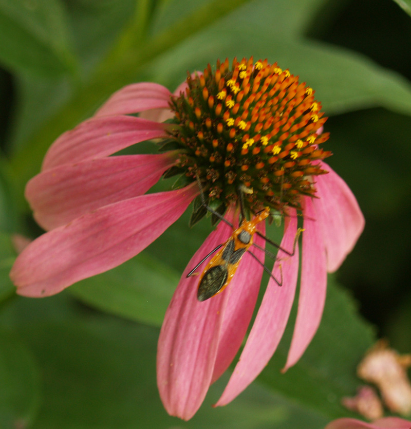 Coneflower with bug