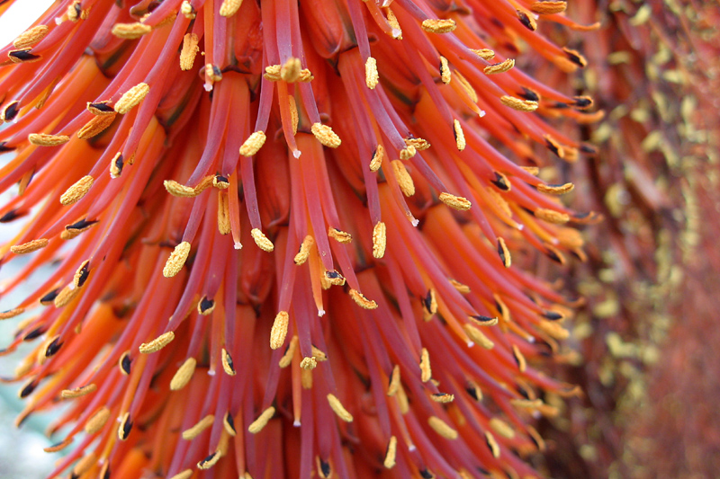 Aloe ferox flower by Jeff Pavlat