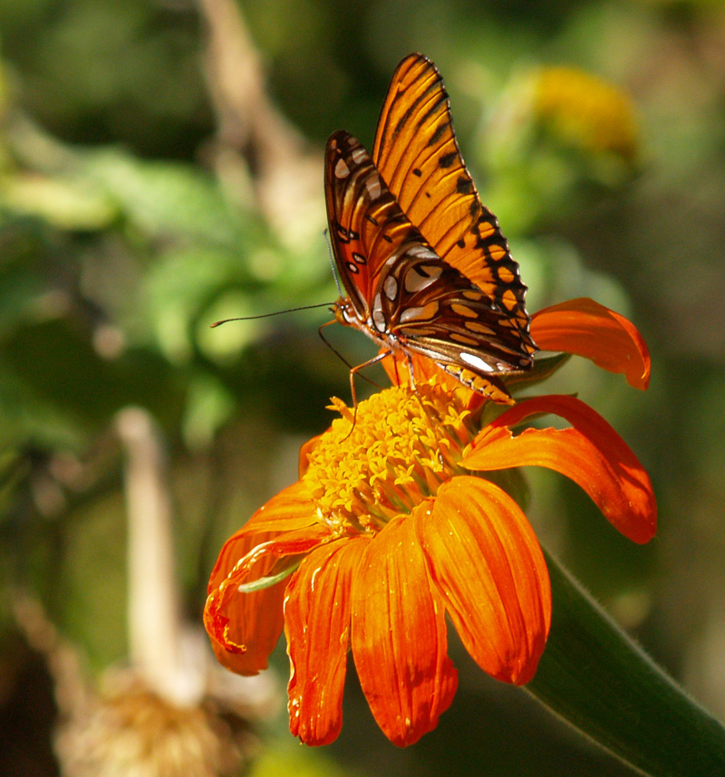 Gulf fritillary butterfly on Mexican sunflower (tithonia)