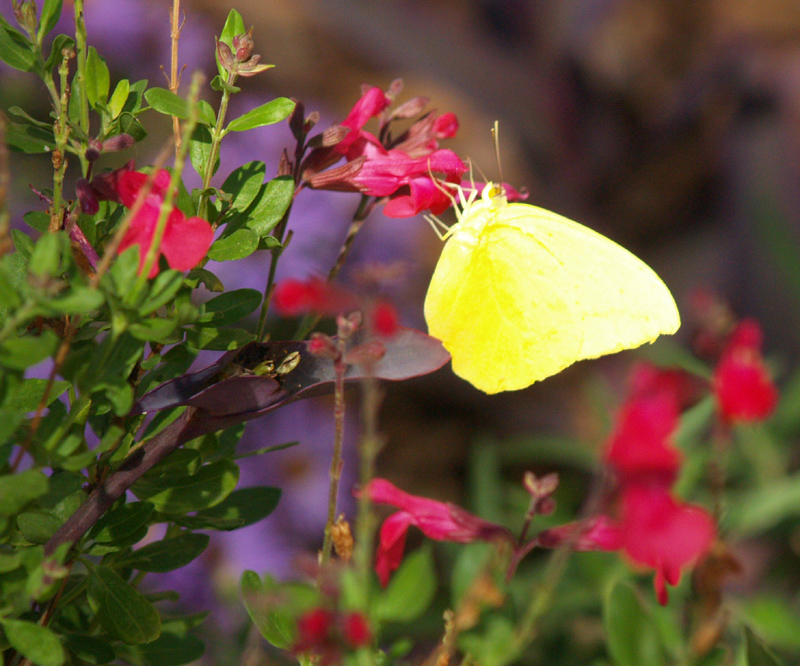 Sulphur butterfly on Salvia greggii