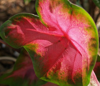 Red caladium