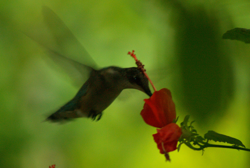Hummingbird on turks cap