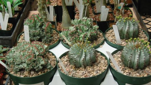 Euphorbias at Austin Cactus & Succulent Society show
