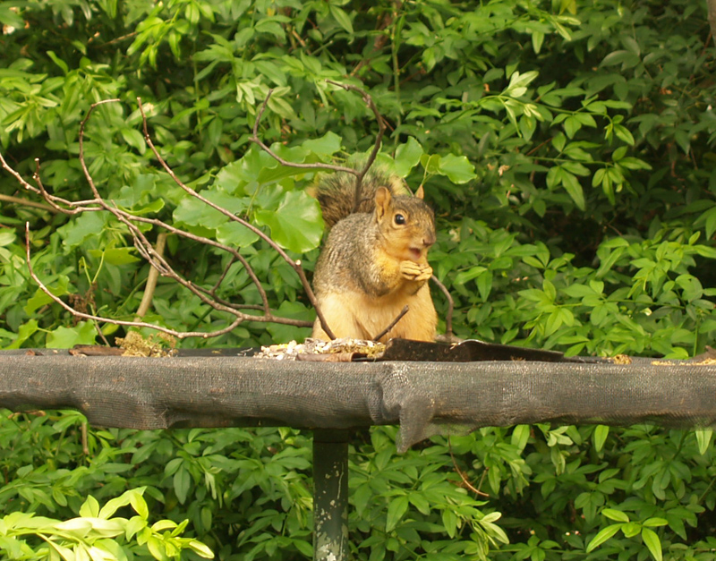 squirrel on platform feeder