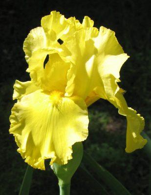 Lemon Pledge bearded iris