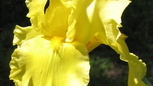 Lemon Pledge bearded iris