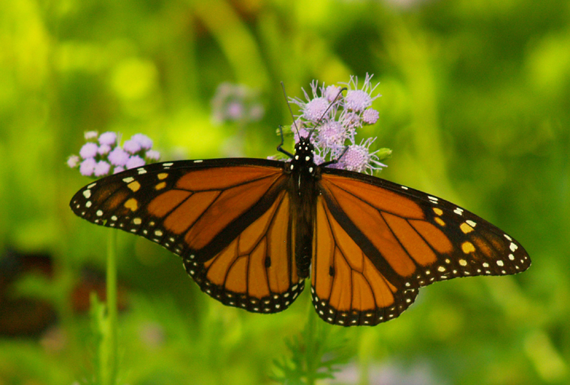 Monarch butterfly on Gregg's mistflower