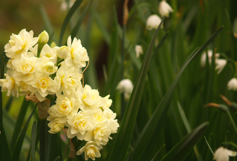 Narcissus erlicheer with leucojum