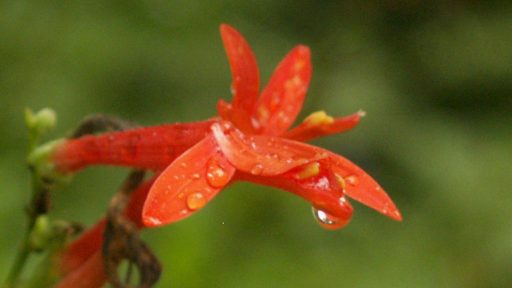 Flame acanthus flower (Anisacanthus wrightii)