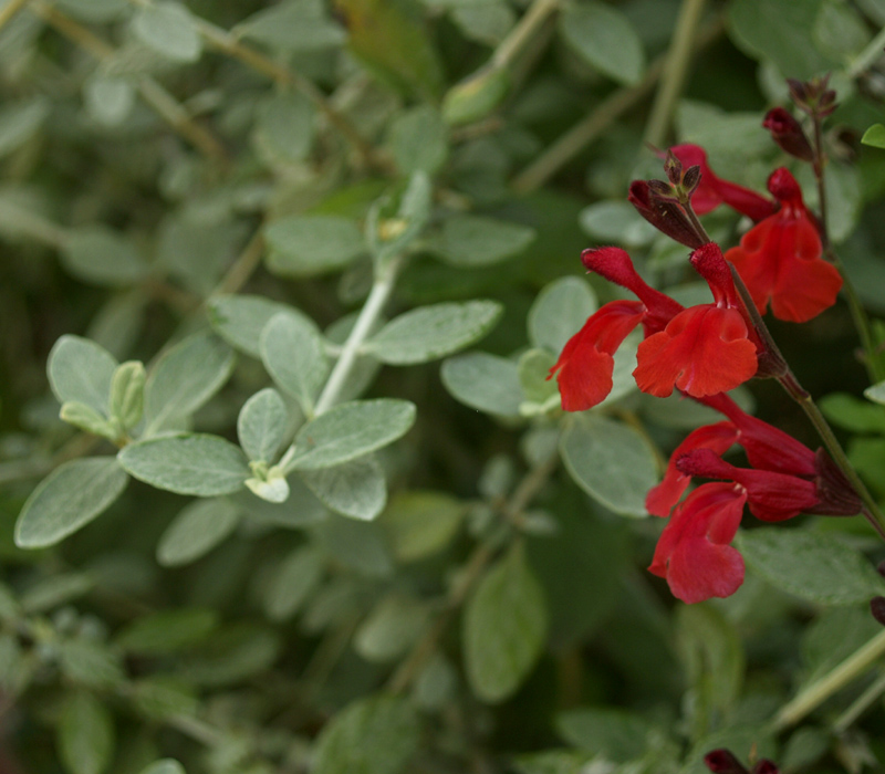 Red Salvia greggii with silver germander