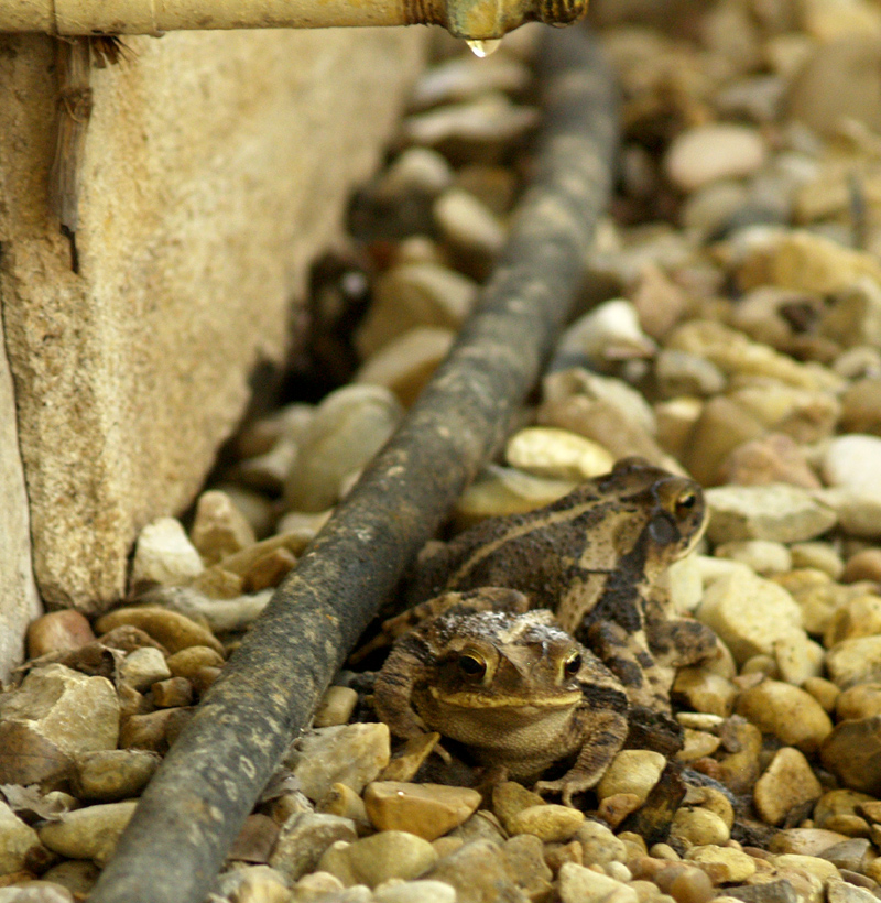 Toads relaxing under condensation pipe