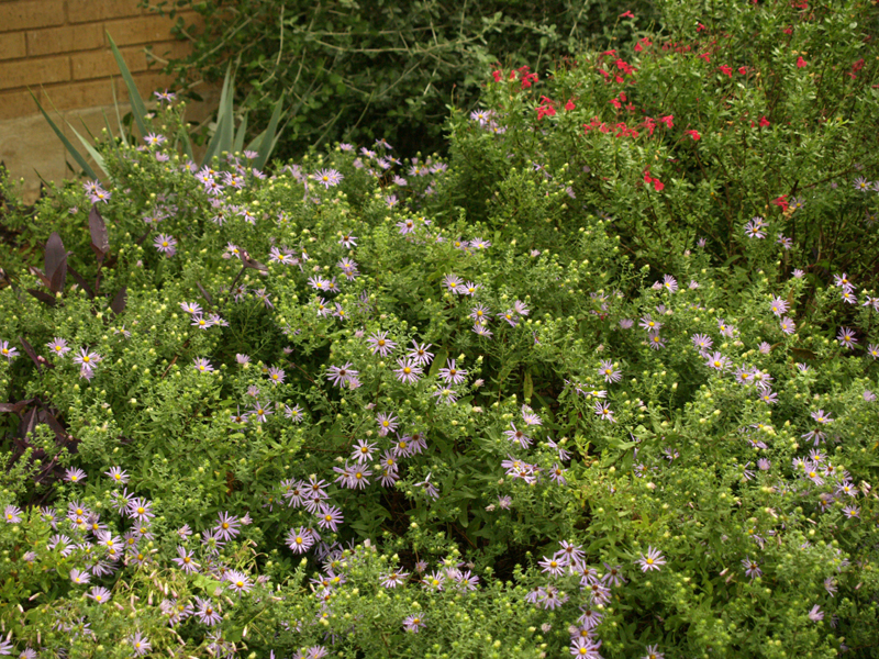 fall asters with salvia greggii