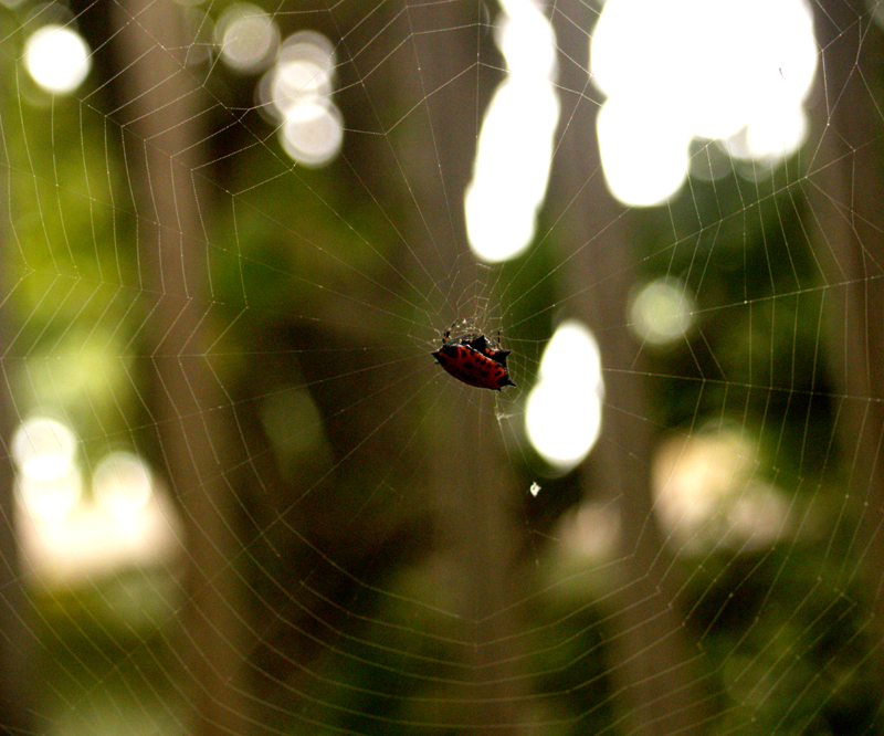 spinybacked orb weaver