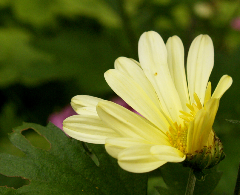 Butterpat chrysanthemum