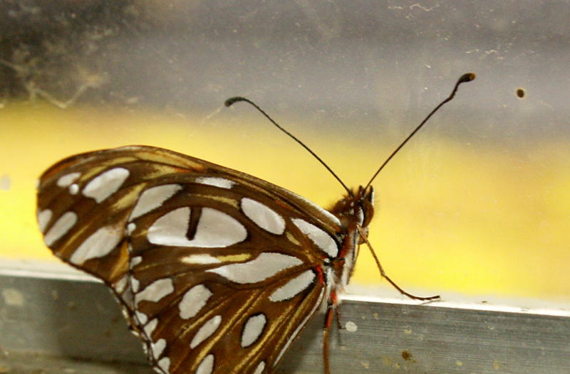 Gulf fritillary birth indoors