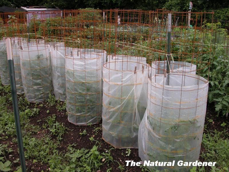 Protective cover vegetable plants