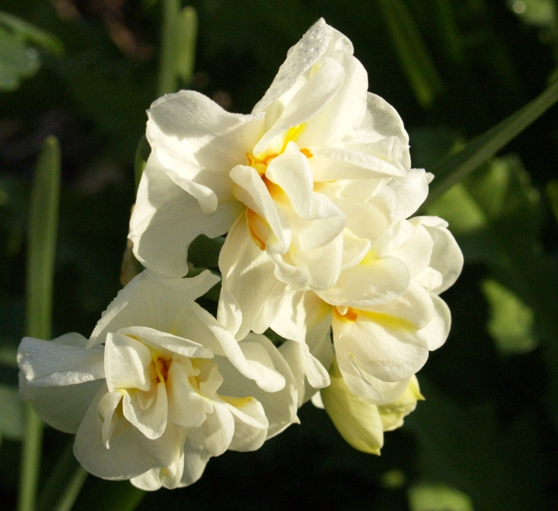 Narcissus 'Abba'