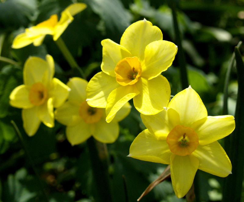Narcissus 'Falconet'