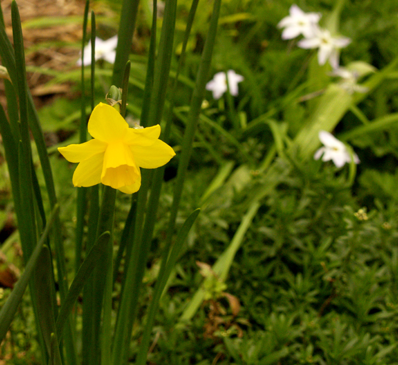 Narcissus 'Sweetness' with spring star flower