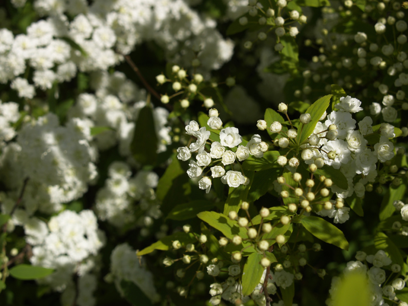 Spiraea buds and blooms