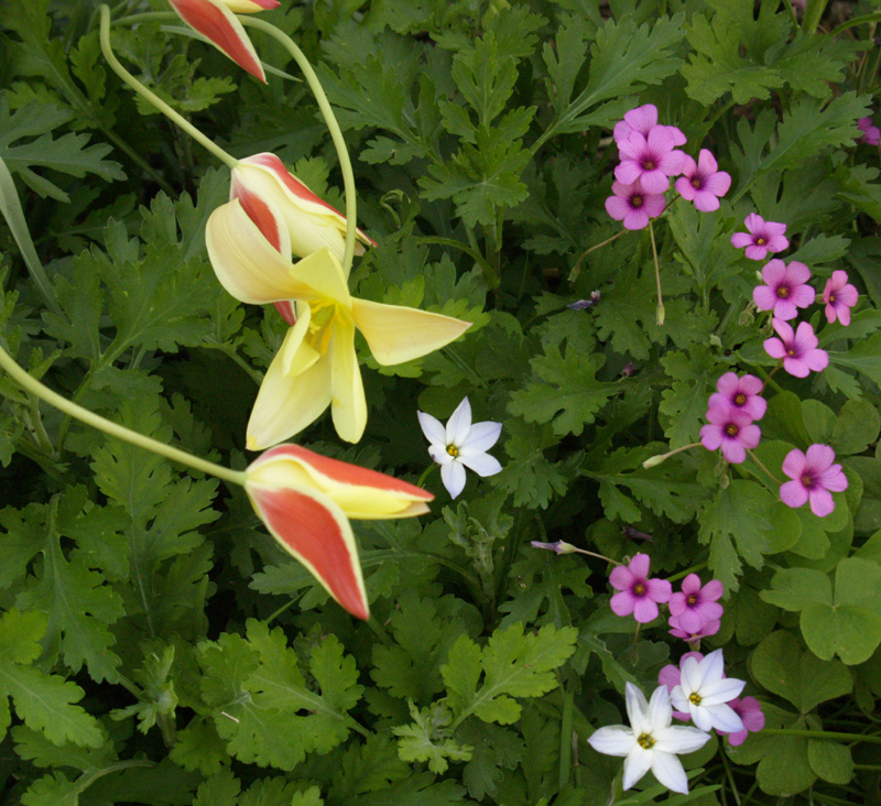 Clusiana tulip 'Tinka' with spring starflower and oxalis
