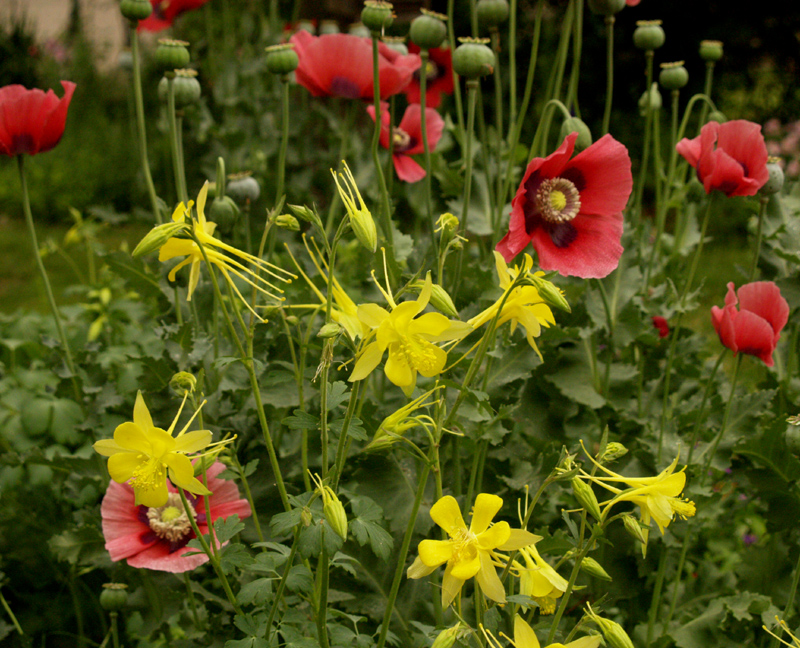 Columbine and pink poppies