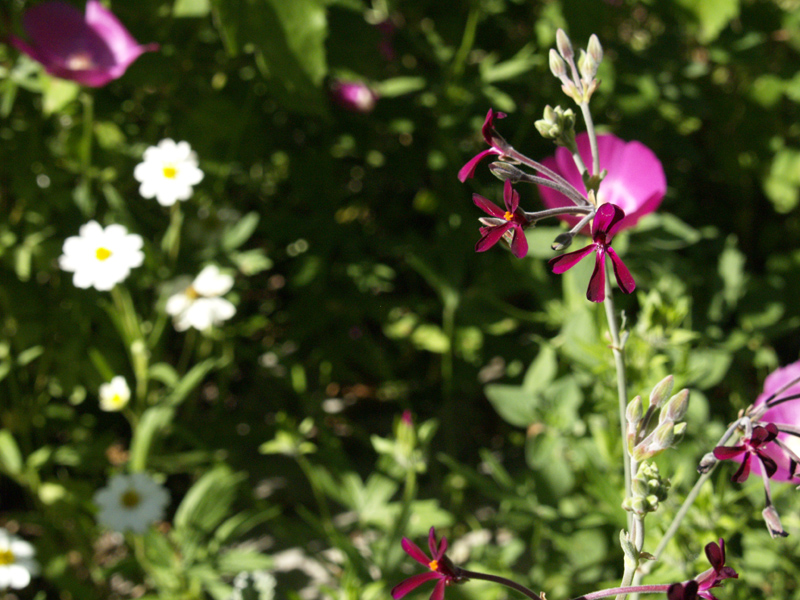 Pelargonium sidoides with blackfoot daisy and winecup