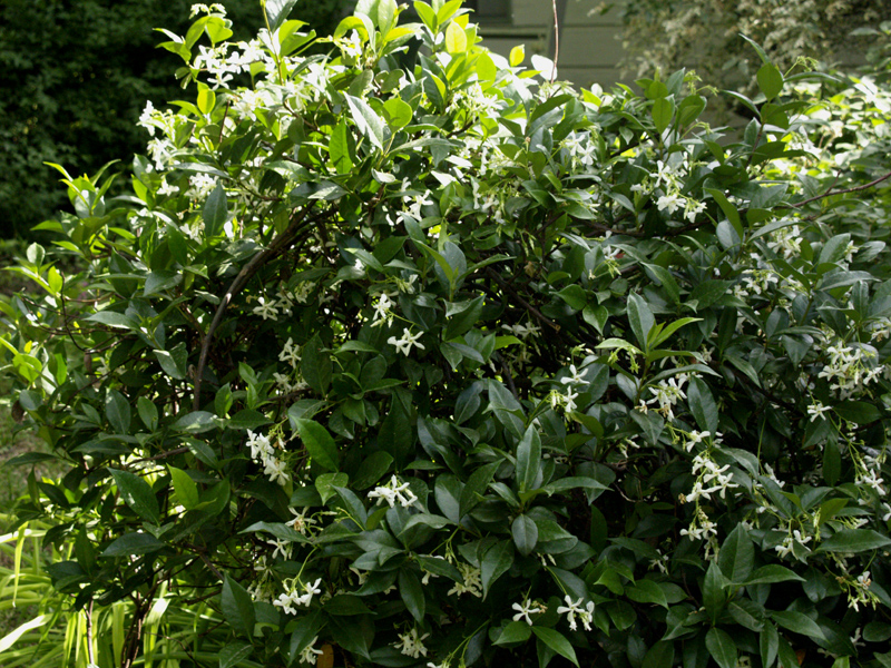 Star jasmine trained as shrub
