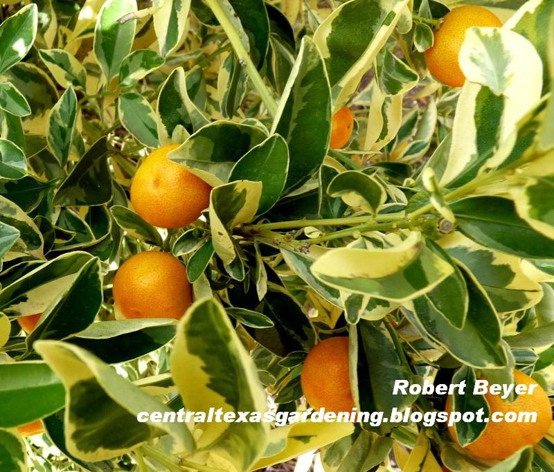 Variegated calamondin orange fruit