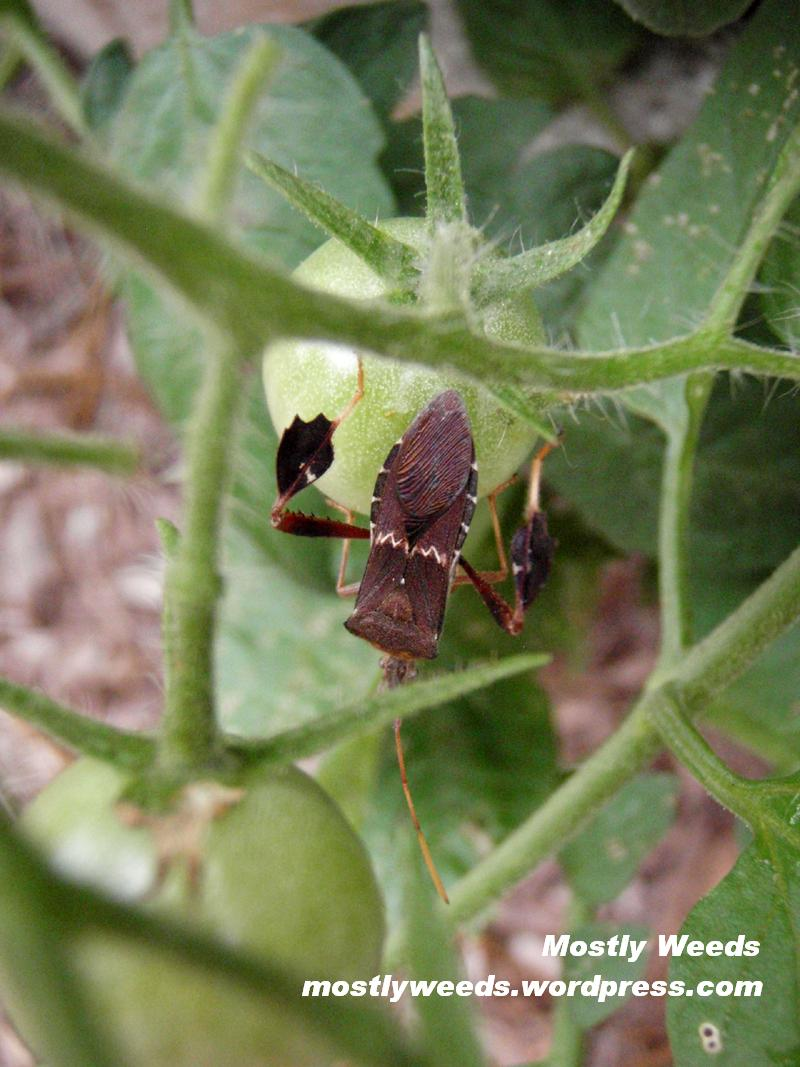 Leaffooted bug on tomato