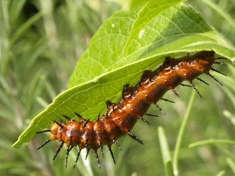Gulf fritillary caterpillar on passion vine austin texas