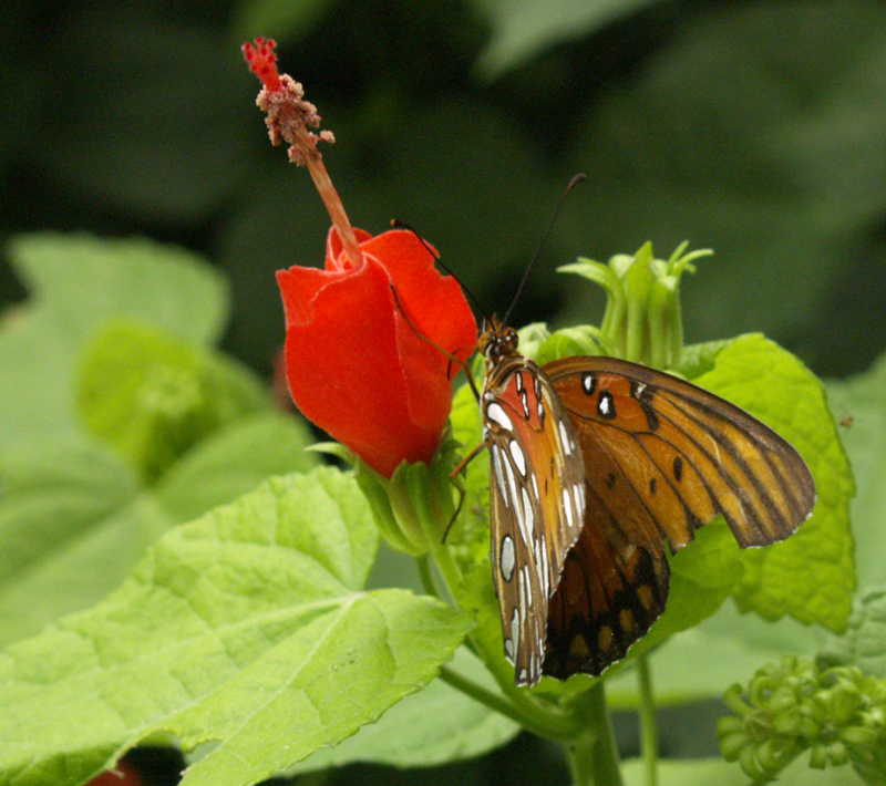 Gulf fritillary butterfly on turks cap