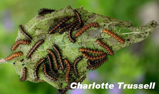 Bordered patch caterpillars on sunflower larval food